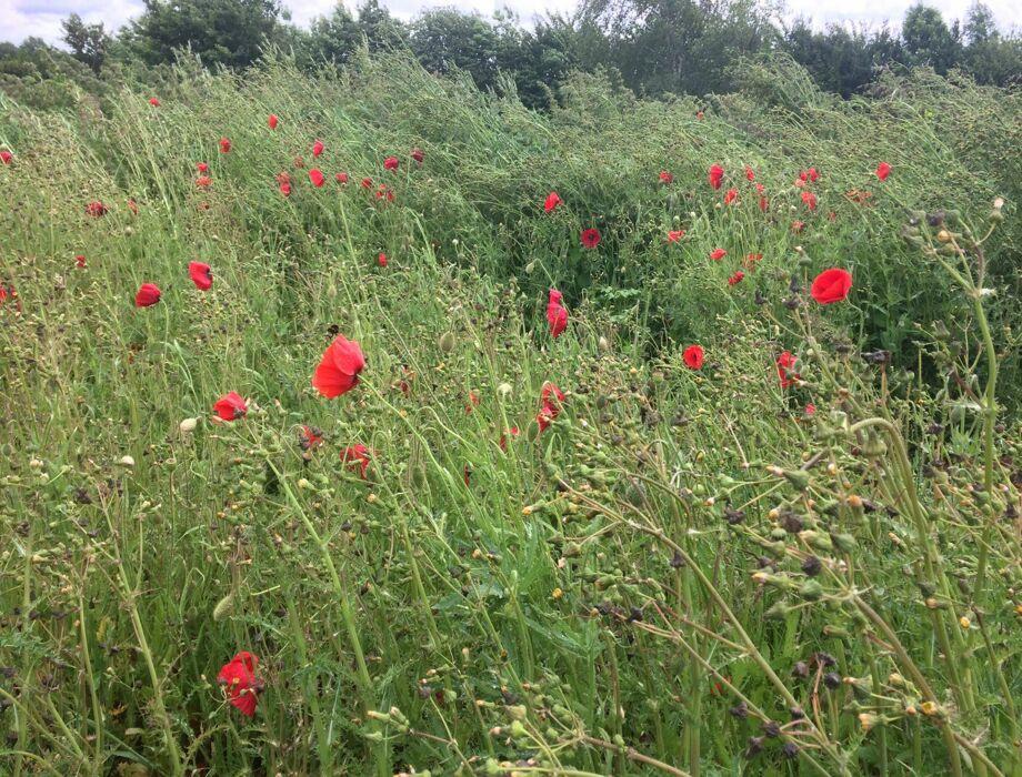 Poppies at Deerton